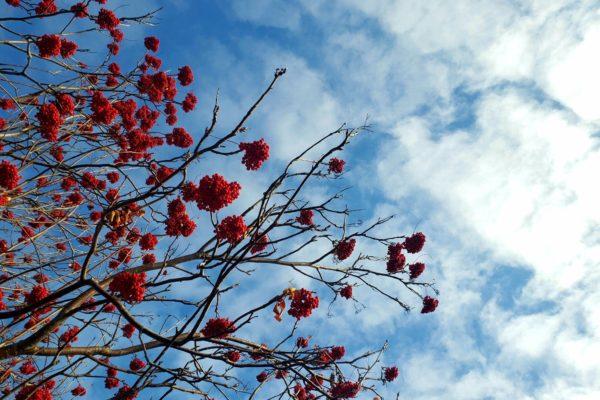 Mountain Ash Berries in Fall
